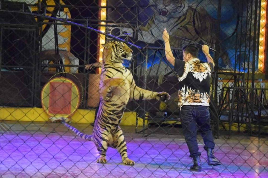 sriracha-tiger-zoo2