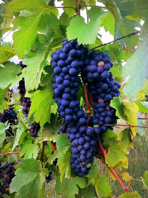 Wine-Grapes-Shiraz-3