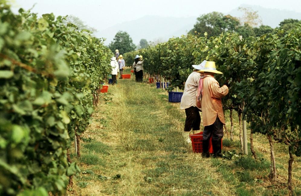 Work-in-the-Vineyards-7