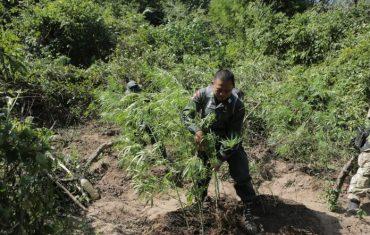 Police officers destroy unauthorized marijuana plants in Sakon Nakhon province on Dec. 9, 2020.